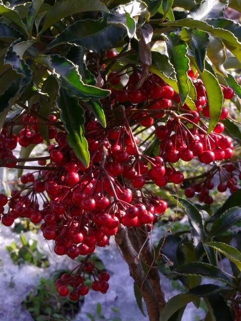 高野の花たち(228)お正月の縁起物マンリョウ
