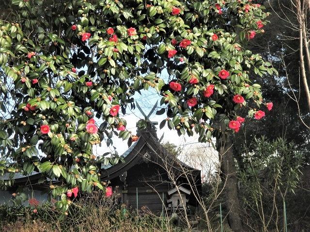 いま藪椿すぐに梅の花♪学文路天満宮・25日初天神