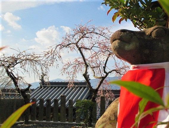 新型肺炎防ぎ入試合格祈る!梅の花咲く学文路天満宮