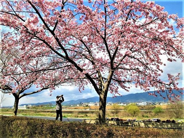 一本の桜満開♡鶯も可愛く♪橋本・紀の川岸の桜並木