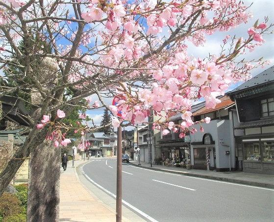 高野山の桜♡見頃近づく~新型コロナで自粛・閑散と