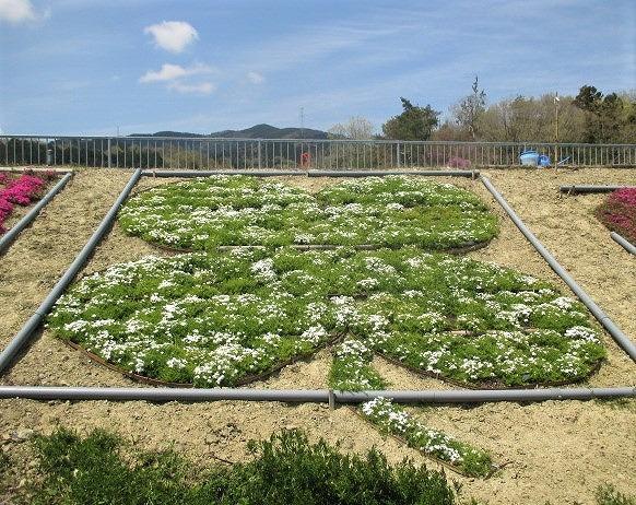 咲いたよ芝桜♡&クローバー花壇~橋本・杉村公園