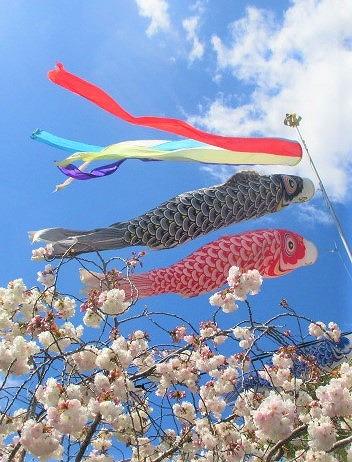 鯉幟ファミリー心癒す♡橋本の高齢者施設~桜も満開