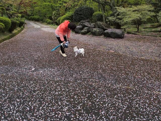 散り桜、夢のよう♪過日の杉村公園~愛犬と女性散歩