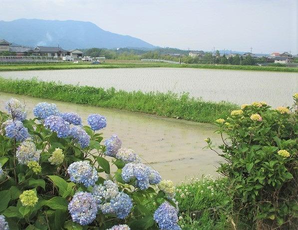 緑の植田、涼風そよぐ♪橋本・恋野~分水戸で引水