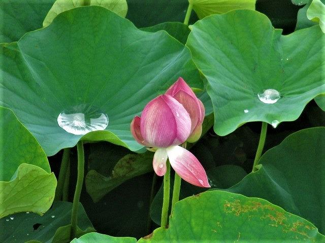 マコトハスと雨水しっとり♡橋本・そこに梅雨の彩り