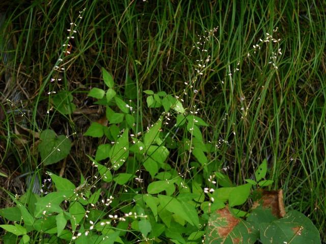 高野の花たち(237)ヌスビトハギ、和名・盗人萩