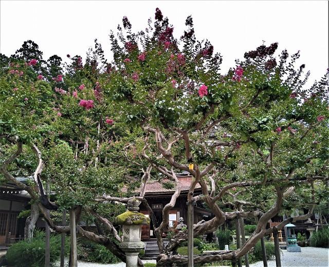 開花、サルスベリの老樹♡高野山・普賢院の芭蕉堂前