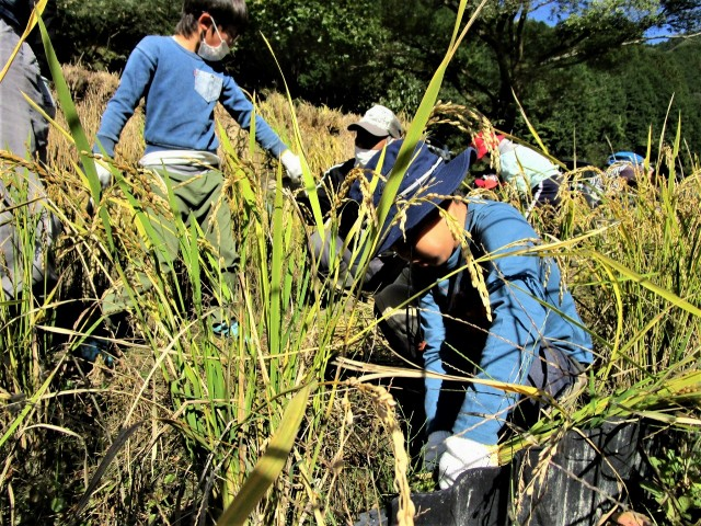 子供ら稲刈りに挑む♡橋本〝芋谷の棚田〟収穫祭