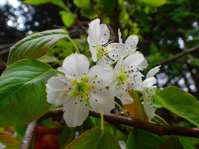 高野の花たち(245)ヤマナシ、日本書記にも登場