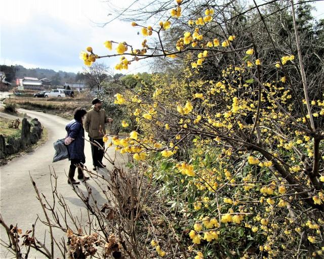 真冬の花、蝋梅きれい♡恋野・浮御堂〜香り漂わせ