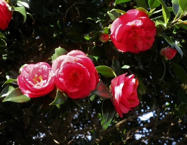花椿、真っ盛り♡日本遺産・小峯寺~鬼瓦も微笑む