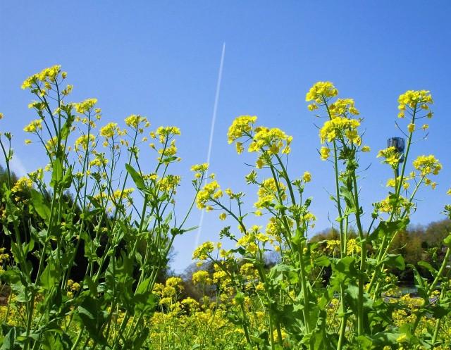 黄砂消え菜の花鮮やか♡空に飛行機雲♡真土万葉の里
