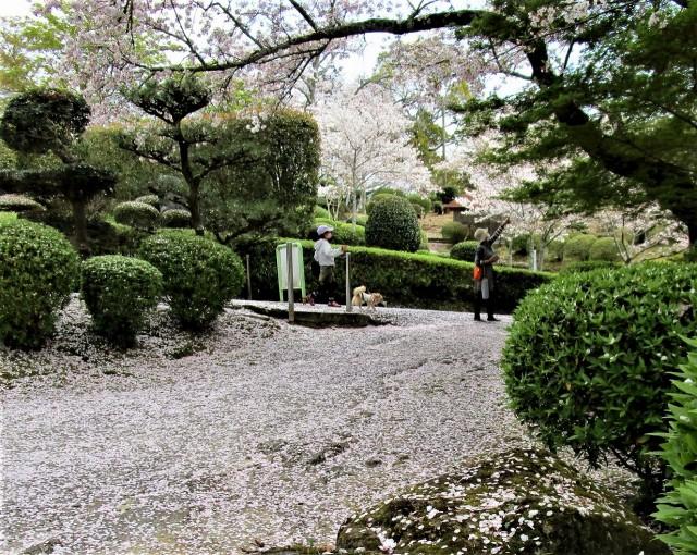 桜散りつつ桜広場に♡橋本・杉村公園~ツツジ彩る