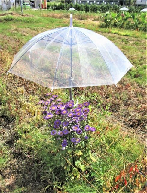 小菊に雨傘・日傘!?高野町富貴の畑〜観光客ら喜ぶ